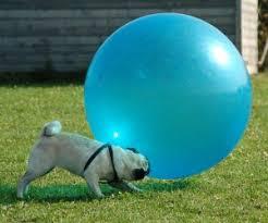 Any size dog can do treibball