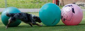 Treibball--dog pushing ball