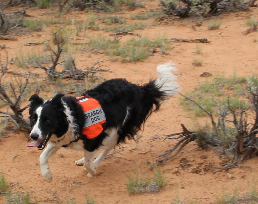 K9 Search and Rescue--dog searching