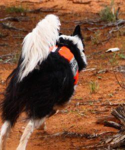 Border collie SAR dog