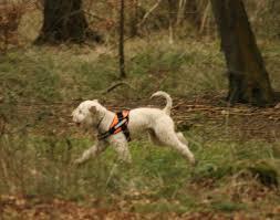Mixed breed SAR dog