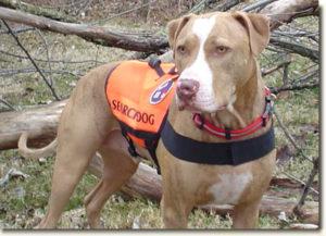 Pit Bull SAR dog