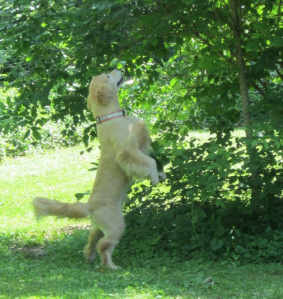 HRD dog searching for scent up a tree