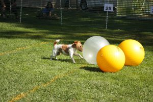 terrier pushing ball