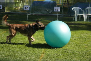 Dog pushing ball