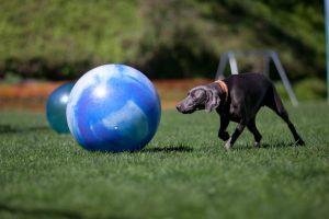dog pushing ball in urban herding
