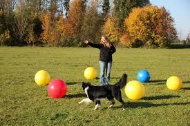 triebball--dog being directed around balls