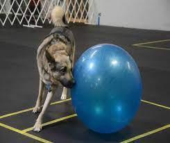 big dog doing treibball