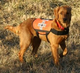 Golden Retriever SAR dog